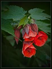 Chinese Lanterns - variety (TT_MAC) Tags: flower garden searchthebest blossom soe victoriabc tqm cameradeourobrasil infinestyle chineselanternflower