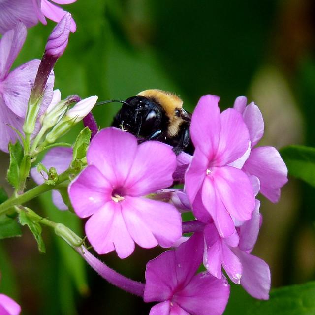 Photo: Phlox paniculata