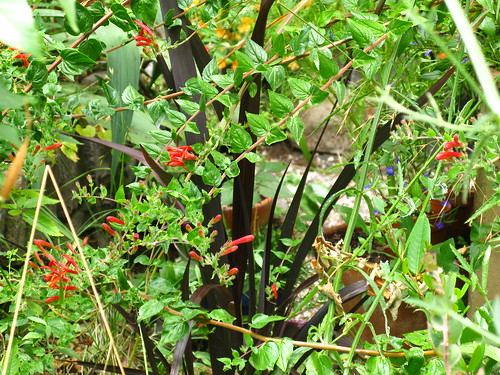 Keckiella cordifolia, Phormium 'Black Adder'