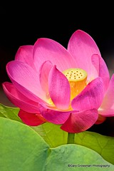 I Heart Lotus (Gary Grossman (traveling for business)) Tags: lotus buddha buddhism virtue creation spirituality spiritual enlightenment pure purity padma transcendence phenomenal freeofkarmicfaults