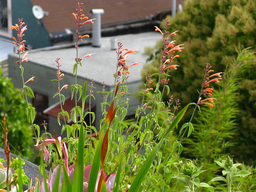 Agastache does okay in a pot on the roof (just okay).