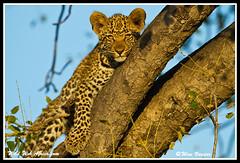 Leopard cub in a Marula tree (Wild Web Africa.com) Tags: wildlife leopard predator leopardcub krugernationalpark carnivore sabisabi leopardintree wildwebafrica wimvorster leopardstail