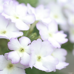 (*Twinkel*'s photostream) Tags: flowers summer soft dof zomer softtones whitepurple justcropped