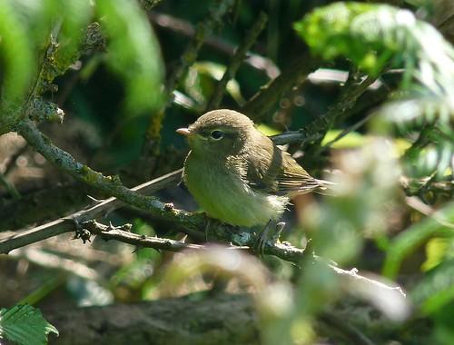 22059 - Juvenile Chiffchaff at Mewslade