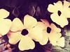 Thunbergia (Black-eyed Susan Vine) Flowers (Chickens in the Trees (vns2009)) Tags: flowers summer nature yellow vintage lomo vine thunbergia mygarden 2009 blackeyedsusanvine coffeeshopactions coffeeshopaction honeyvintage lomoiii