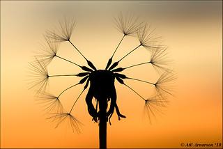 Dandelion clock silhouette
