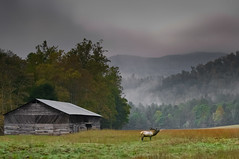 Early Morning Wake Up Call (nailbender) Tags: morning mist nature fog barn tennessee antlers elk rutting cataloochee nailbender smokymountainnp