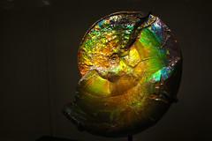 IMG_3682PS (porkrolleggncheese) Tags: americanmuseumofnaturalhistory ammolite