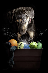 Magical toy box..... (chad.latta) Tags: dog chien animal mix chad shepherd perro magical latta kayce