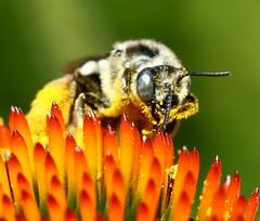 Tiny Honeybee Closeup and personal (Memotions) Tags: ontario canada macro nature closeup insect guelph be patty honeybee 2010 pollinator ohearn memotions kickham