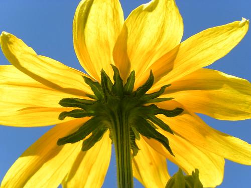 フリー写真素材, 花・植物, キク科, オオハンゴンソウ, 黄色の花,