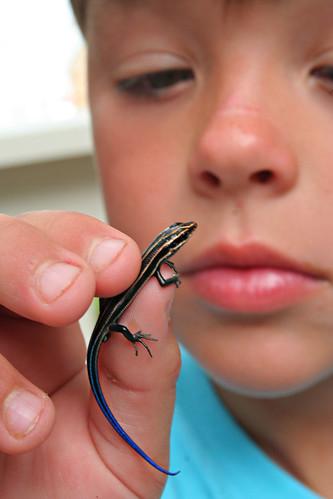 blue-tailed skink? salamandar?