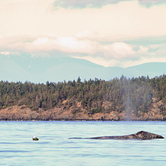 Grey Whale on the Sunshine Coast (Peggy Collins) Tags: ocean sea canada mountains britishcolumbia pacificocean pacificnorthwest whale halfmoonbay sunshinecoast greywhale graywhale welcomebeach peggycollins whaleblowing