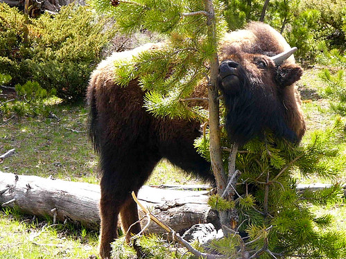 Yellowstone National Park 2005 - Itchy buffalo... or tree hugger?