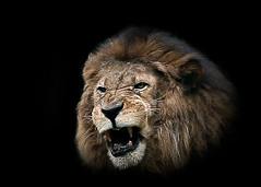 lion (Azuma.) Tags: portrait animal canon retrato lion 5d zoolgico fera leo 135mm azuma zo zoolgicodesopaulo rujido