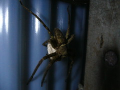 Heteropoda Venatoria with egg sac (kuroyagi11) Tags: spiders heteropodavenatoria brownhuntsman