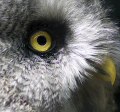the eye (Chris Tait) Tags: eye yellow grey zoo beak feathers feather explore owl frontpage twycross specanimal
