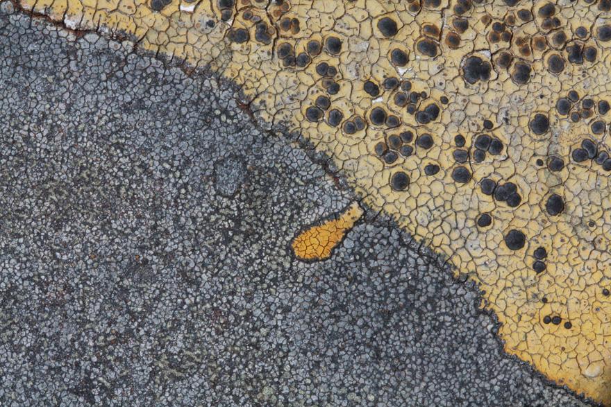 Lichen, Saxicolous species, growing on rocks aside the Beinn Alligin path not far before An Rathanan (the Horns of Alligin).