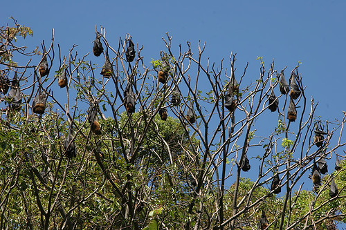 Flying Foxes, Sydney Botanical Garden