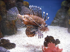 Beautiful fish! (Mand728) Tags: fish aquarium striped stripedfish beautifulfish