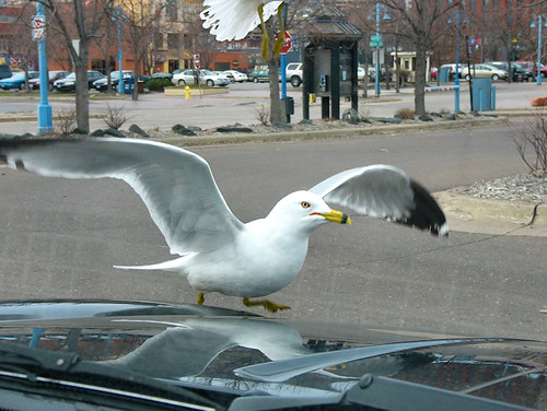Seagulls from around the US - Duluth, Minnesota