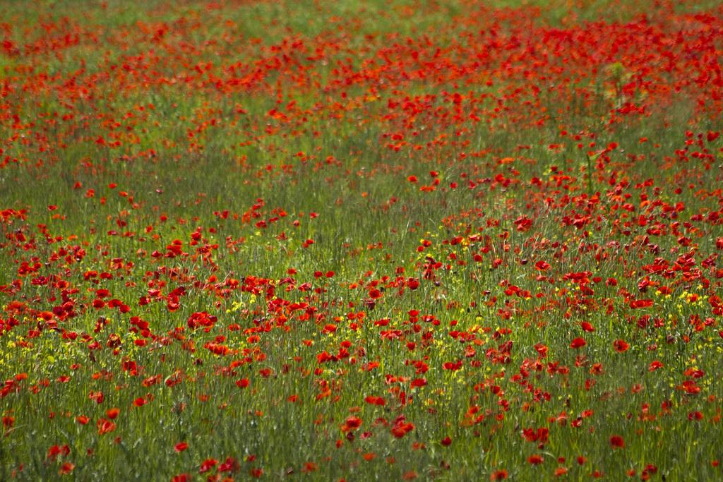 Poppy field #2