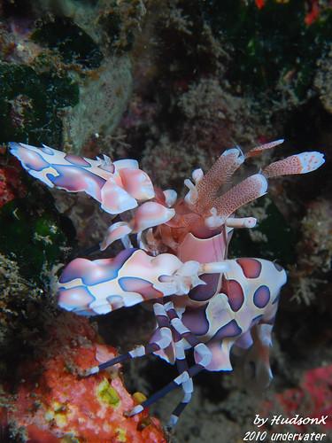 釉彩臘膜蝦-小紅(2)
