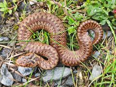 Dad, I've found a worm! (Dan Baillie) Tags: uk scotland reptile snake endangered viper adder galloway venom hatchling wigtownshire danbaillie bailliephotographycouk bailliephotography wigtownshirephotographer dumfriesandgallowayphotography