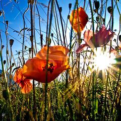 Vacation's light (Paco CT) Tags: flowers sun flores sol spain explore poppies rays esp vegetal 2010 lleida rayos arties valdaran amapolas ltytr1 pacoct superlativas