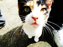 Quando eu vi, ali estava ela... (Fbio Dutras) Tags: animal brasil bonito gato felino olho gramado sonyhx1
