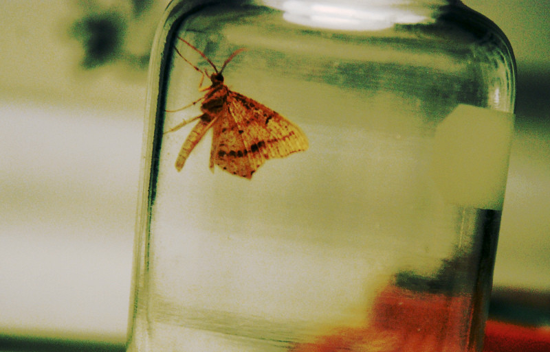 captured moth