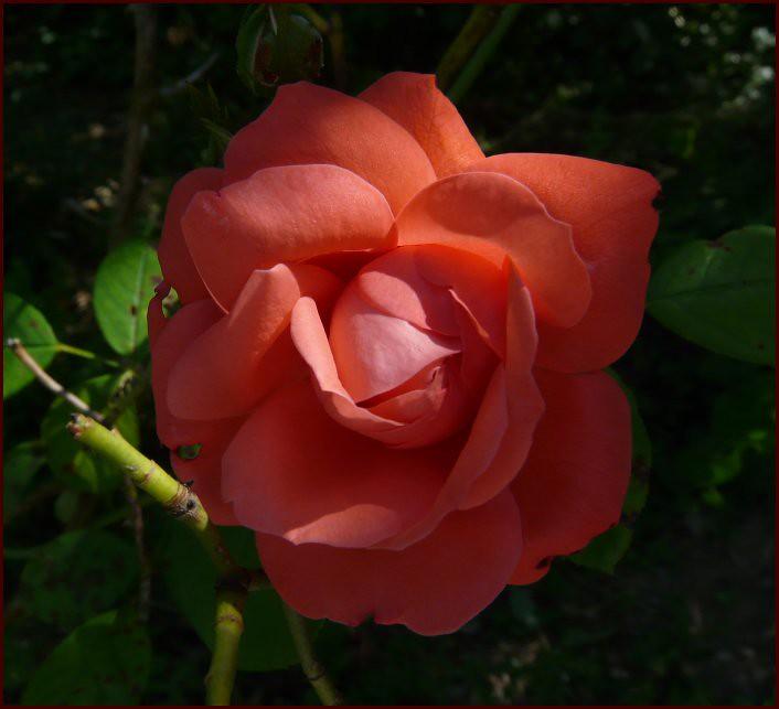 Rose d'Août