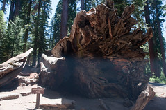 Wawona Tunnel Tree Photo