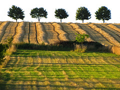 Waves on field (RainerSchuetz) Tags: trees harvest meadow stubblefield rowoftrees agricultureart