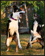 Bubble Border Collies (BCxFour) Tags: playing jumping bubbles bordercollies poppingbubbles goofyexpressions