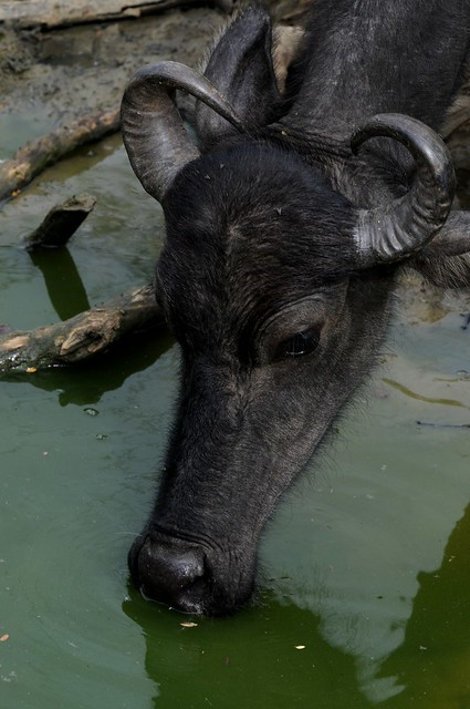 water buffalo - domestic 2