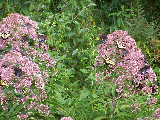 butterflies on Joe Pye weed