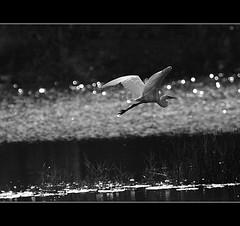 Leaving (Sara-D) Tags: bw art heron nature birds canon leaving wildlife aves srilanka ceylon sarad blackwhitephotos asianwildlife saranga birdsofsrilanka sarangadevadealwis birdsofsouthasia wildsrilanka sarangadeva