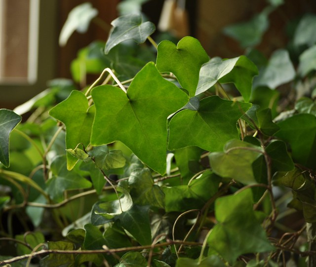 Ivy, manual