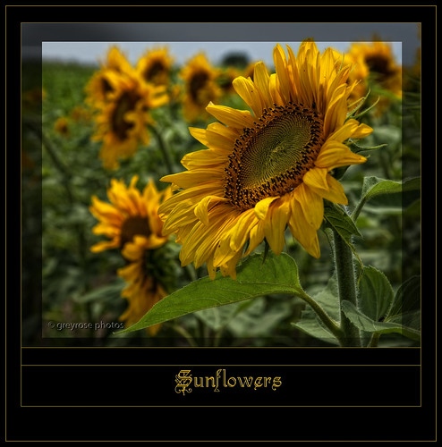 A field of sunshine...