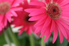 Beautiful Daisy (Diane.Reichert) Tags: flowers flower nature canon landscape newjersey canonrebel southjersey gardenstate canonrebelxti dianer1119