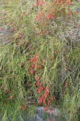 Russelia_equisetiformis_13_1 (Mark Egger) Tags: plantaginaceae russeliaequisetiformis formerlyscrophulariaceae
