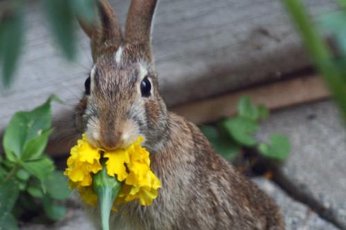 Rabbit eats marrigold 084