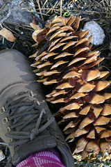 really big pine cones (saramarie) Tags: park pine boot chaos cone hiking hike trail national volcanic crags lassen