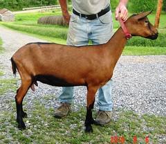 THE GRACE'S PRINCESS MAHOGANY - B001507567 (Erin Cooper Young Living) Tags: princess goat doe american dairy genetics graces mahogany the oberhasli adga goat:sex=doe goat:registry=american goat:breed=oberhasli b001507567 goat:regnumber=b001507567 goat:regname=thegracesprincessmahogany