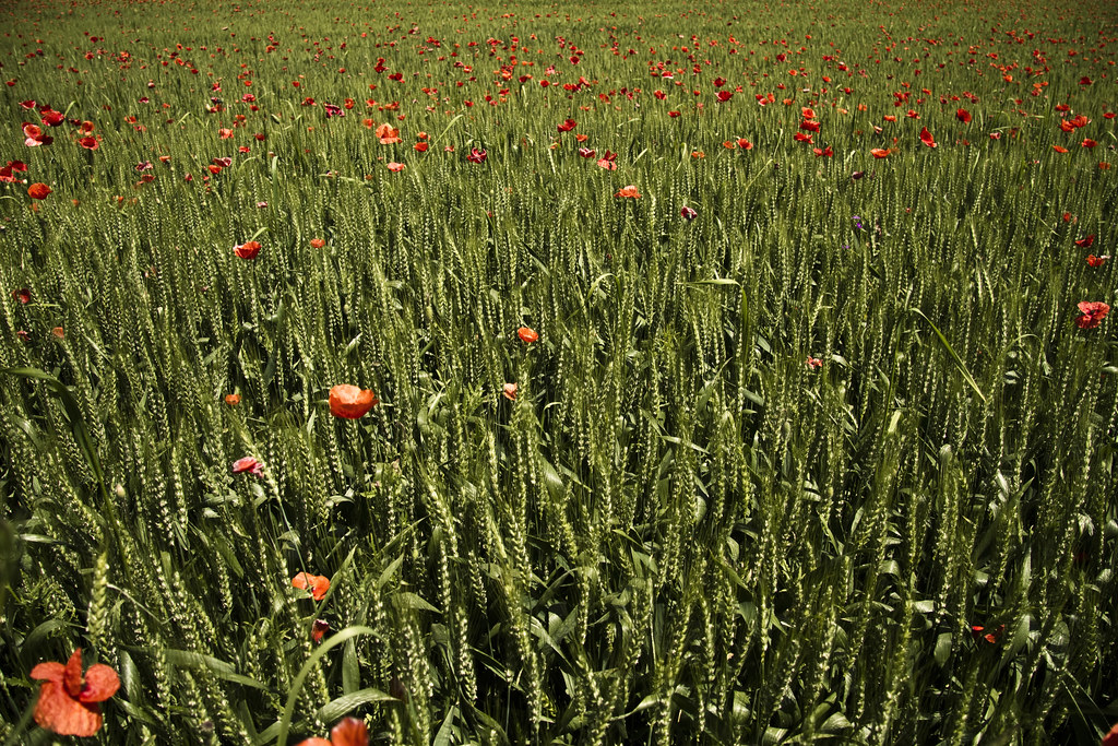 Cornfield with poppies #6
