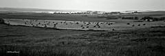 Prairie Summer (Just a Prairie Boy) Tags: summer white canada black history landscapes nikon angus horizon picasa overcast books western prairie hay bales canola vastness photoimpact d60 charlais cybucism