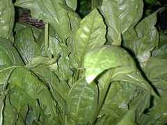 1pic1thoughtinAug 16 spinach for brains by KatieTT