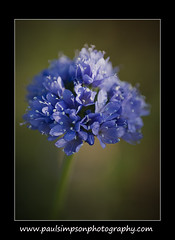 Blue Flower (Paul Simpson Photography) Tags: uk flowers summer plant flower macro dof bokeh scunthorpe blueflower summerflower narrowdof singleflower normanbyhall blueplant normanbypark paulsimpsonphotography