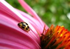 IMG_6793 The Proverbial Slippery Slope 7-21-10 (arkansas traveler) Tags: flowers echinacea insects bugs ladybug bichos macrolicious bokehlicious naturewatcher